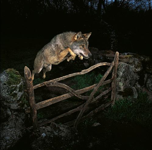 Leapingwolf