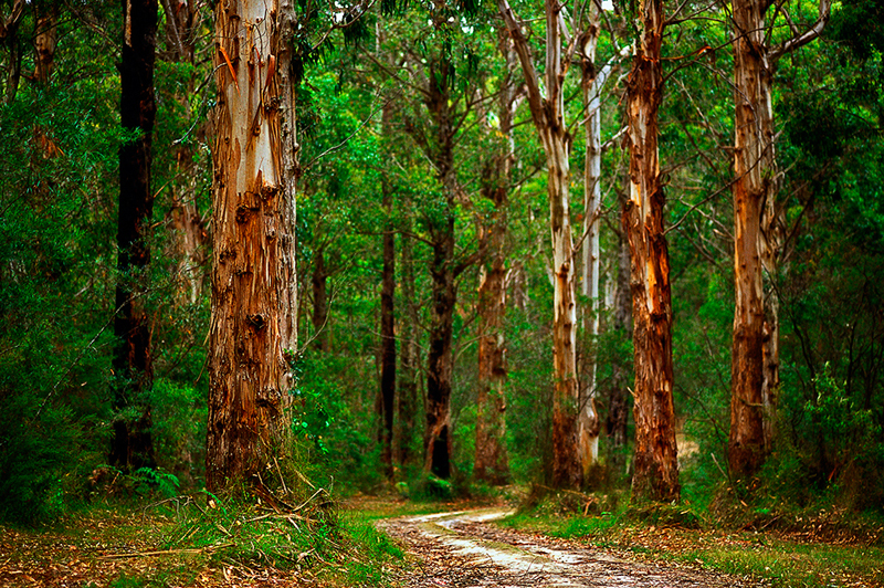 Forest-drive_great-otway-national-park