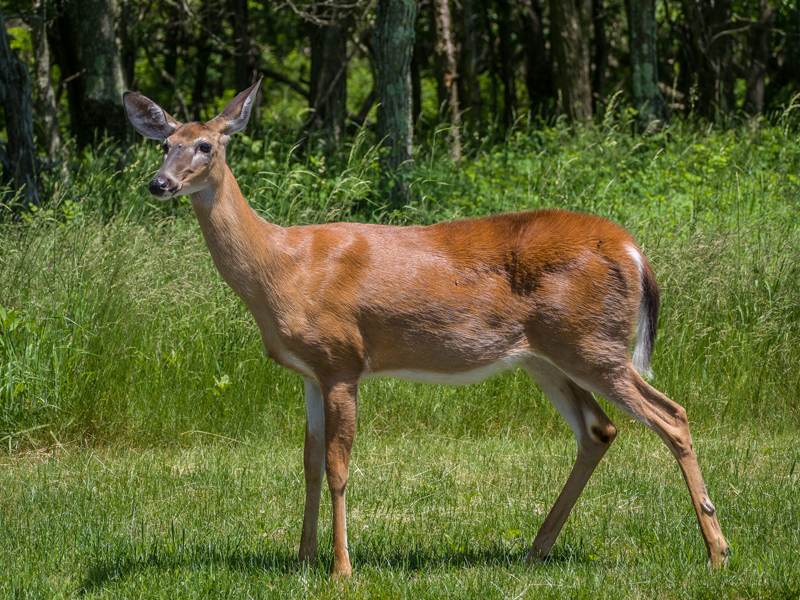 ©2012 Dennis A. Mook; Whitetail Deer-800