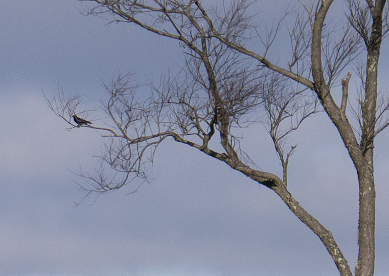 Crows_detail
