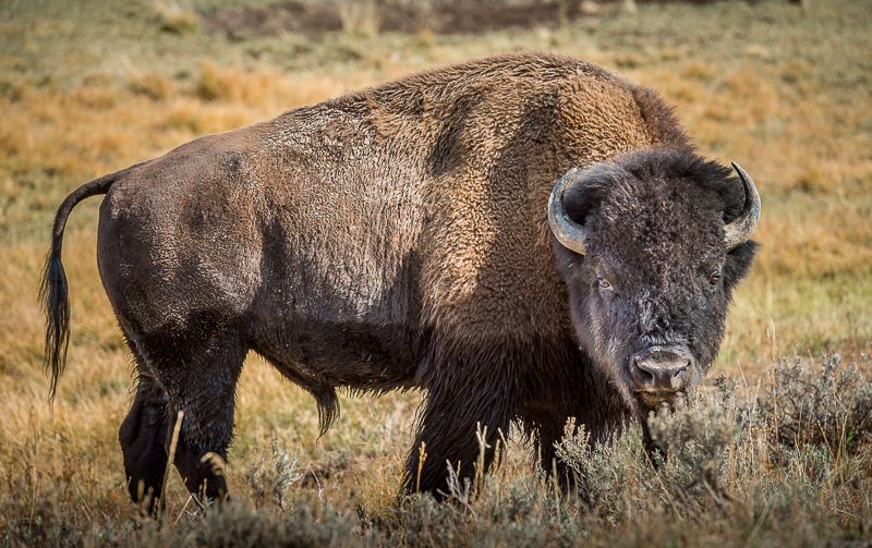 ©2012 Dennis A. Mook; Bison, Hayden Valley, Yellowstone N.P.-