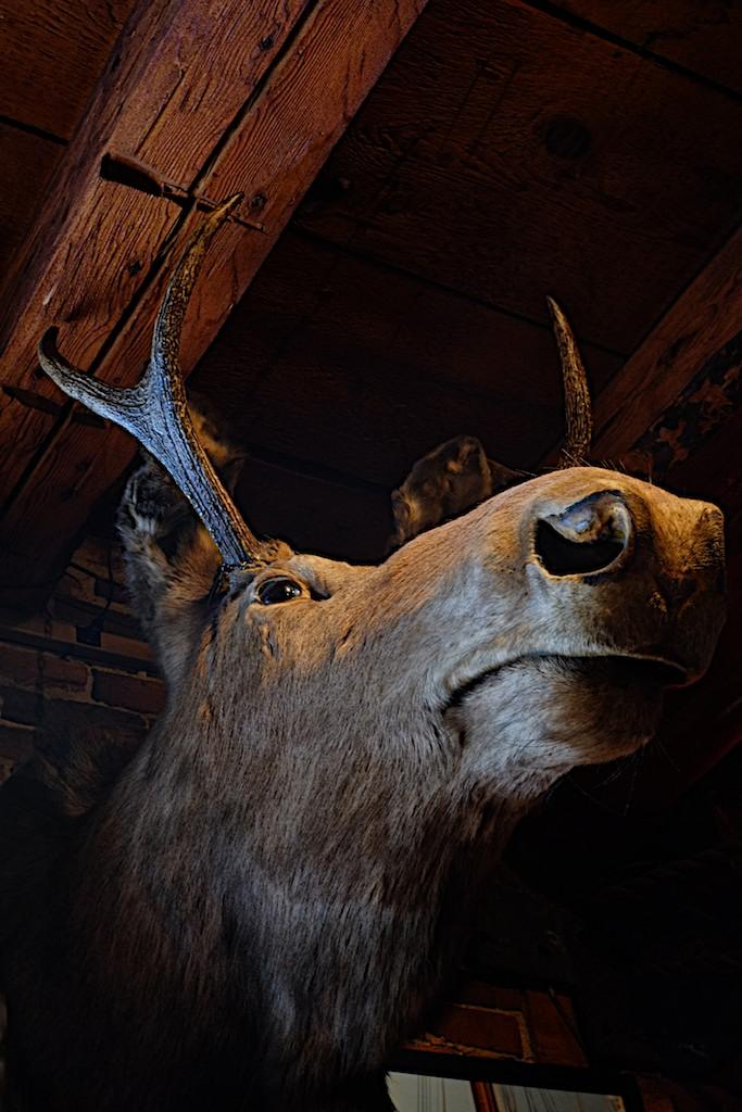 Moose with Deer Antlers (1)
