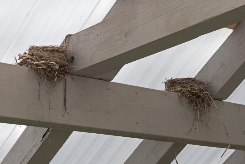 Robins nests