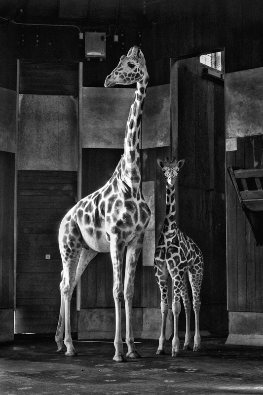 BW Elling Two Giraffes