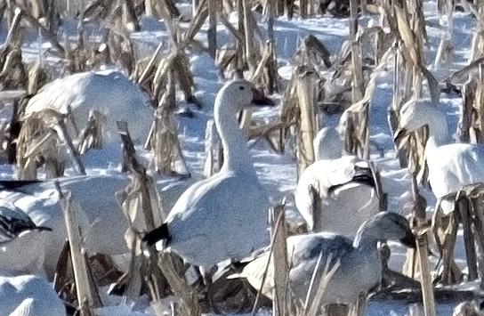 Geese detail