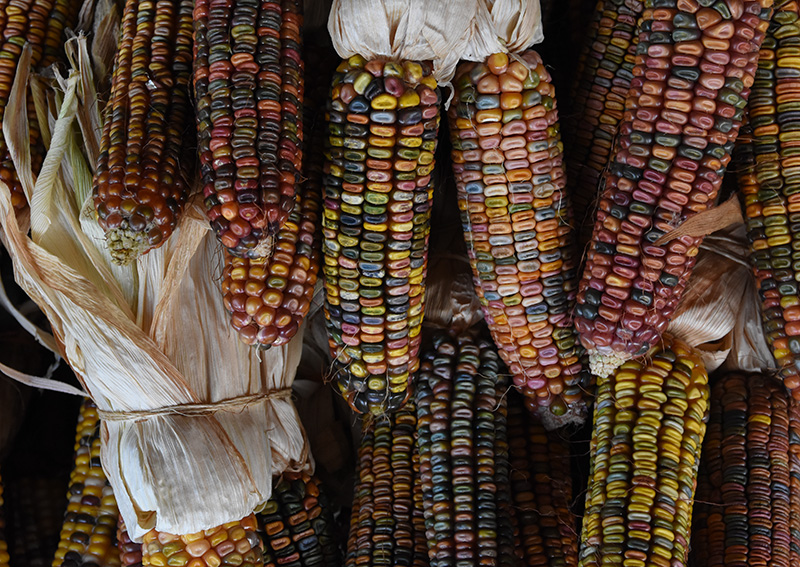 Mennonite Indian Corn