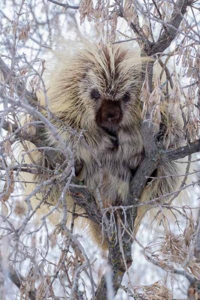 Porcupine Portrait-1