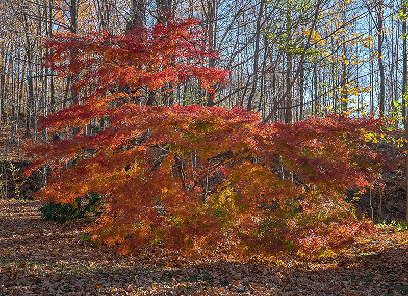 Japanese-maple-small