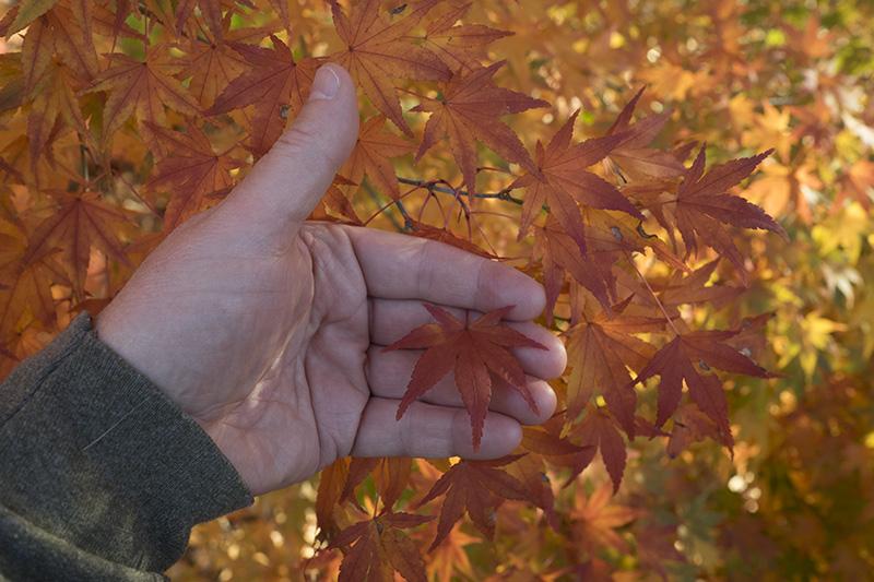 Japanese-maple-2