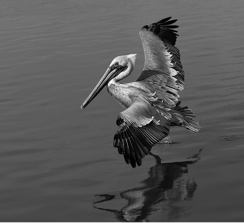 BW Housley Pelican Fly Series 2
