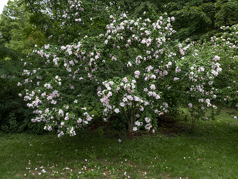 Rose of sharon 2-small