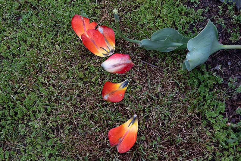 Tulip petals-small