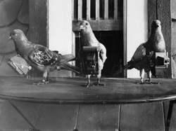 Pigeoncamera2