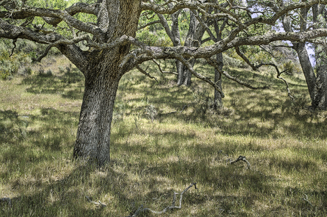 Reiter8oak_in_dappled_light_83247_2