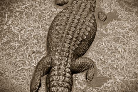 Gator_2