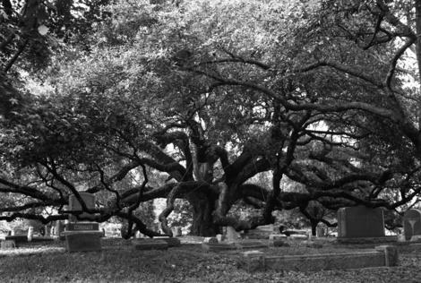 Oak_tree2